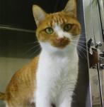 <病院猫:ゴディバ>